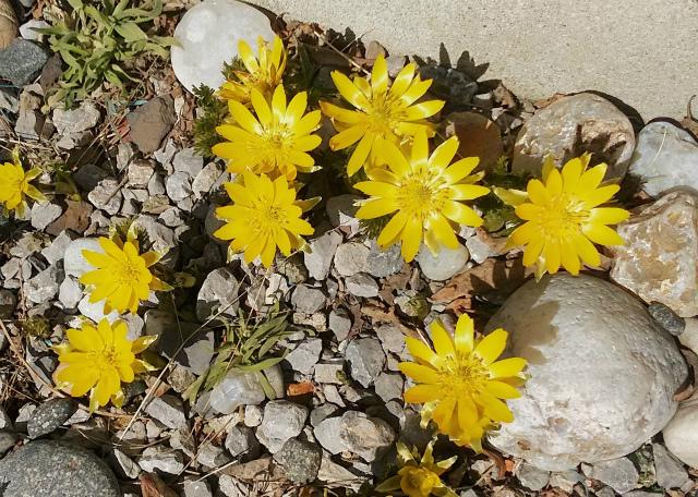 春の訪れ・・福寿草が咲いていました!tags[北海道]
